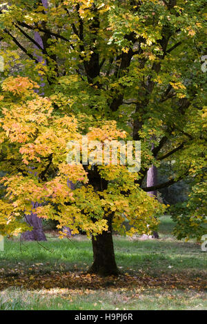 Acer platanoides leaves in Autumn. - Stock Photo