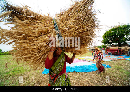 Indian woman in traditional clothes carrying a freshly harvested wheat crop bundle at Chotti Haldwani village in - Stock Photo