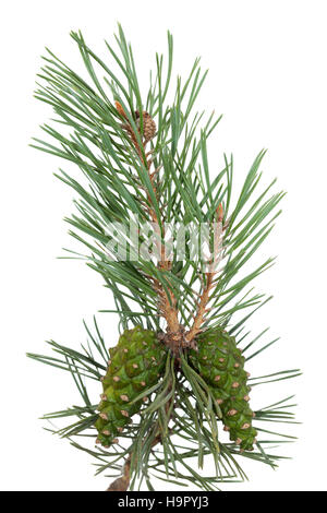 pine tree branch and cones on white background - Stock Photo