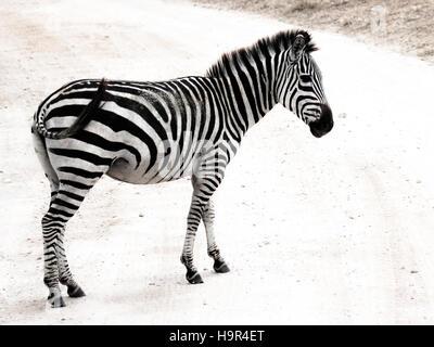 Single zebra crossing the road in Tarangire National Park in Tanzania - Stock Photo