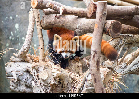 Red panda, also called as Ailurus fulgens, in the zoo of the Ocean Park, in Hong Kong. - Stock Photo
