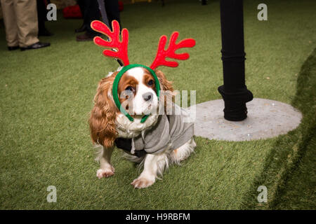 London, UK. 24th Nov 2016. A small dog wearing reindeer antlers at the switch on of the floating Christmas tree - Stock Photo