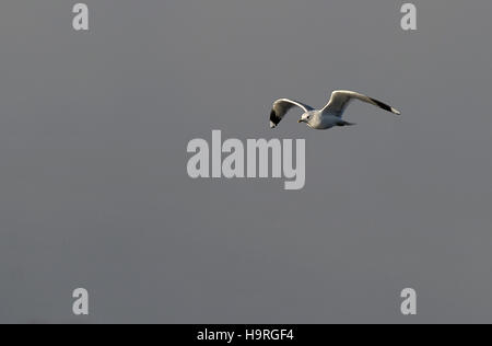 Balloch, West Dunbartonshire, Scotland, UK. 24th November, 2016. Scotland cold weather. seagull flying grey sky - Stock Photo