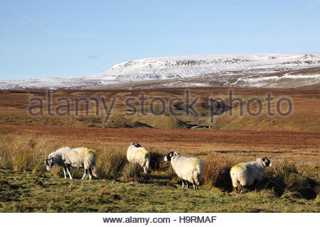 Wemmergill Moor, Lunedale, Co Durham UK 26th November 2016 The colourful Swaledale sheep enjoy the morning sun which - Stock Photo