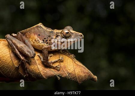 Neotropical frog (Pristimantis labiosus) (craugastoridae), Choco Forest, Canande River Nature Reserve, Ecuador - Stock Photo