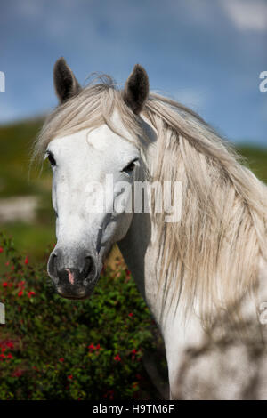 Connemara pony stallion, Connemara, Galway, Ireland - Stock Photo