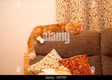 A cute ginger cat/kitten sleeps on the backrest of a sofa/settee/couch. - Stock Photo