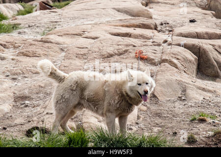 Greenland Husky dog (Canis lupus familiaris borealis) tied up outside in dog city district in summer. Sisimiut Qeqqata - Stock Photo