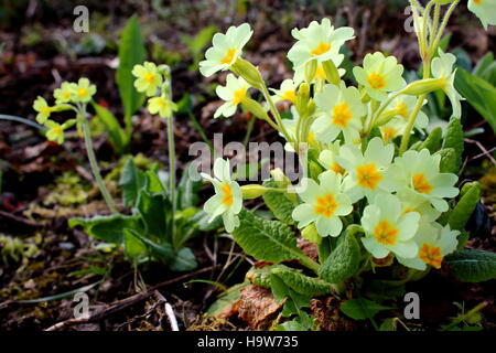common cowslip (Primula veris) in flower - Stock Photo