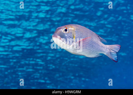 Bigeye emperor, or humpnose bigeye bream (Monotaxis grandoculis) swimming in blue rippled water just below the surface - Stock Photo