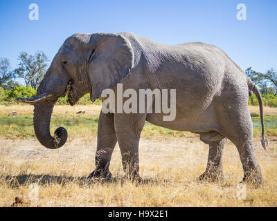 Large African elephant bull grazing on saavannah grass, safari in Moremi NP, Botswana - Stock Photo