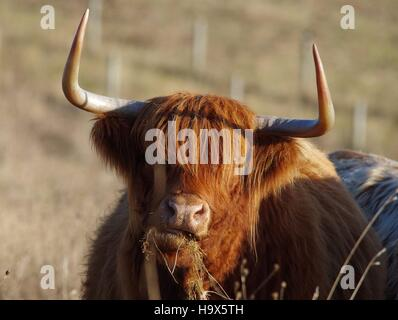 highland cattle cows in field sheffield uk - Stock Photo