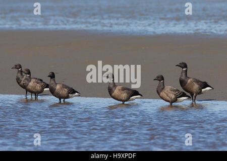 Brant geese / brent geese (Branta bernicla) flock resting on mud flat - Stock Photo