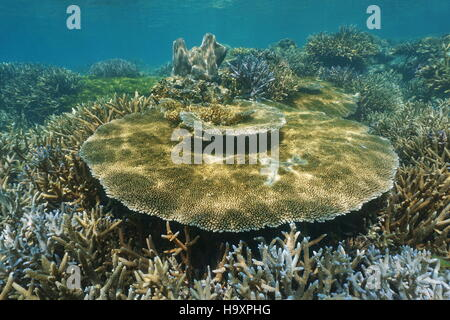 Underwater marine life, Acropora table coral on an healthy reef, New Caledonia, south Pacific ocean - Stock Photo