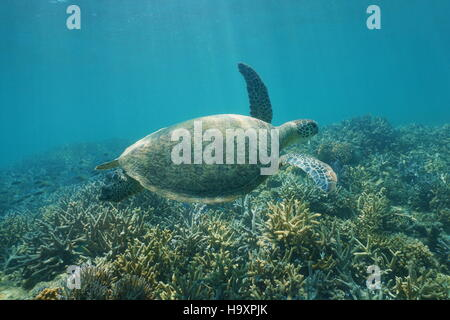 Underwater green sea turtle, Chelonia mydas, swimming over a coral reef, New Caledonia, south Pacific ocean - Stock Photo