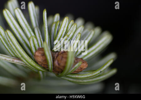 Nordmann fir, close-up, green-white shoots on young tree - Stock Photo