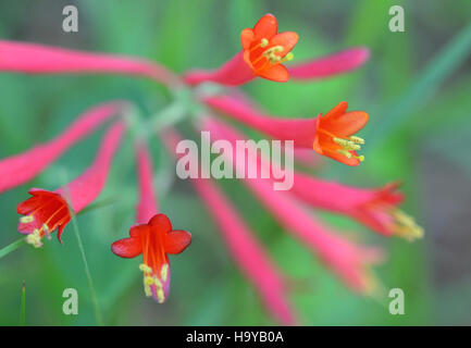 capehatterasnps 14491125136 Lonicera sempervirens - Stock Photo