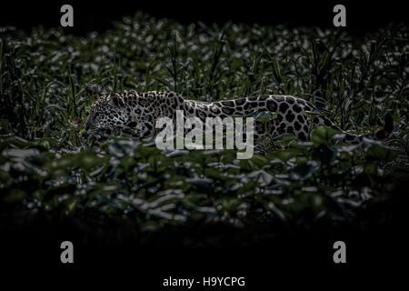 American jaguar male in the nature habitat, panthera onca, wild brasil, brasilian wildlife, pantanal, green jungle, - Stock Photo