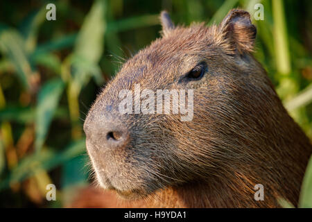 capybara in the nature habitat of northern pantanal, biggest rondent, wild america, south american wildlife, beauty - Stock Photo