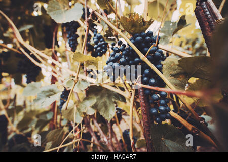 Wide angle shot of bunches of black grapes surrounded by green leaves and metal rods; vineyards on a sunny day in - Stock Photo