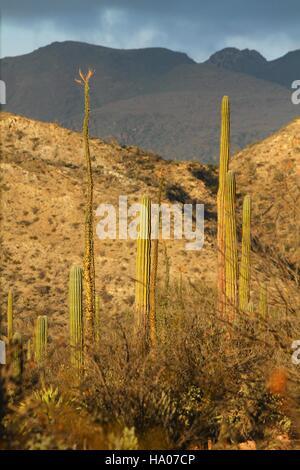 Sunset in the Cactus fields, Mexico,Baja California - Stock Photo