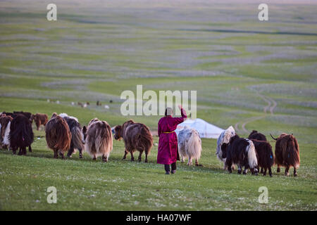 Central Asia Independent Mongolia Asia travel travel destination world culture word destination yak milking veau - Stock Photo