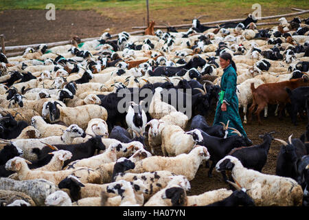 Mongolia, Arkhangai province, nomad camp, sheep herd - Stock Photo