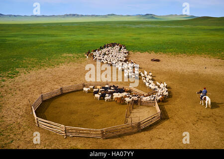 Mongolia, Arkhangai province, nomad camp, sheep herd leaving the stockyard - Stock Photo