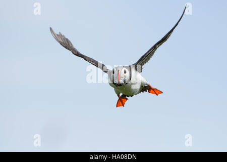 An atlantic puffin (Fratercula arctica) in flight with a beak full of sandeels for young, Farne Islands, Northumberland, UK
