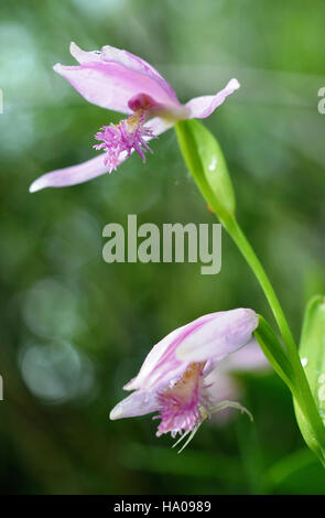 capehatterasnps 14327644528 Pogonia ophioglossoides Stock Photo