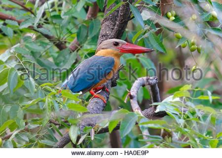 Stork-billed Kingfisher Pelargopsis capensis Birds of Thailand - Stock Photo