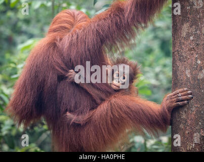 Bornean orangutan mother and baby - Stock Photo