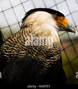 Crested Caracara from  a wildlife reserve in Costa Rica - Stock Photo