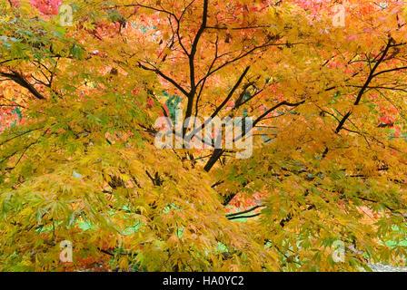 ACER PALMATUM HESSEI JAPANESE MAPLE AUTUMN FOLIAGE - Stock Photo