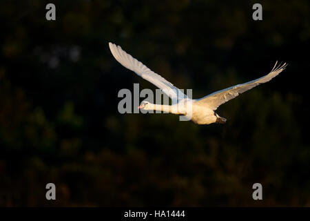 A large Mute Swan takes flight in the early morning sun against an almost all black background. - Stock Photo