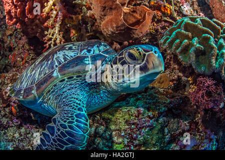 Sea turtle rests inside a large elephant ear sponge on steep wall reef. - Stock Photo