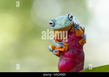 Javan gliding tree frog on a flower, Indonesia - Stock Photo
