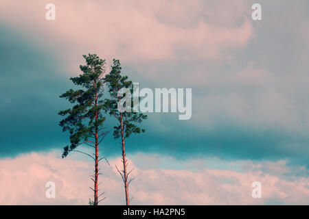 Tall pine trees against the cloudy sky - Stock Photo