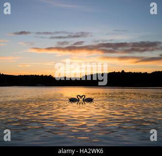 Two swans on lake, Hovekilen, Tromoy, Norway - Stock Photo