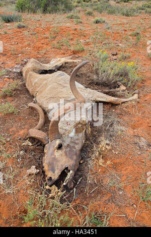 Big male kudu antelope (Tragelaphus strepsiceros) that died of drought, South Africa - Stock Photo