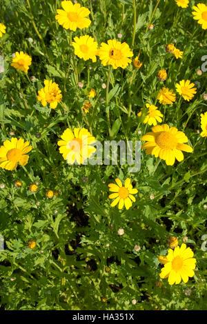 Saat-Wucherblume, Saatwucherblume, Saat- Wucherblume, Glebionis segetum, Chrysanthemum segetum, Corn Marigold Stock Photo