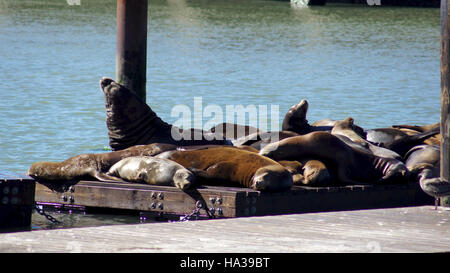 SAN FRANCISCO, USA - OCTOBER 5th, 2014: The iconic sea lions at Pier 39 on the bay facing Alcatraz have been a major - Stock Photo