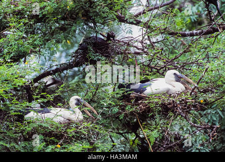 Asian Openbill stork,Anastomus oscitans,nesting colony with birds sitting in nests,Keoladeo Ghana National Park,India - Stock Photo