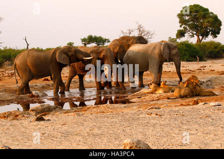 A pride of lions very close to a herd of elephants during a drought at Pump Pan Savuti Botswana