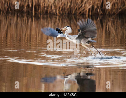 A Grey Heron (Ardea cinerea) taking off after catching a bottom dwelling Tench in a Suffolk pool - Stock Photo