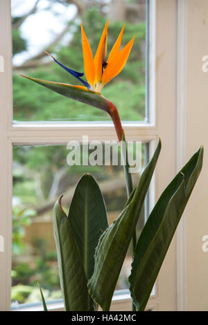 Bird of Paradise flower, Strelitzia, of the family Strelitziaceae, growing as a house plant indoors in the UK. - Stock Photo