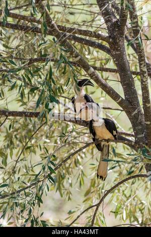 Two Von der Decken's Hornbills sitting in a tree - Stock Photo