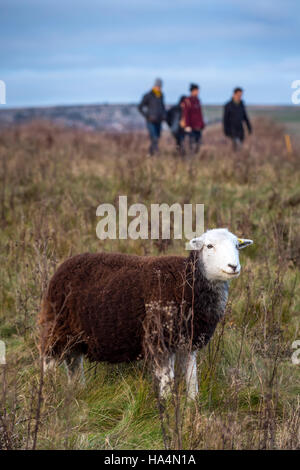 Rottingdean, East Sussex, UK 27th Nov, 2016 A sheep and walkers at Rottingdean in East Sussex. Credit:  Andrew Hasson/Alamy - Stock Photo