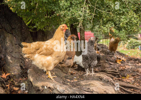 Free-ranging Buff Orpington, Red Laced Wyandotte, Cuckoo Maran and White Leghorn hens standing at the base of a - Stock Photo