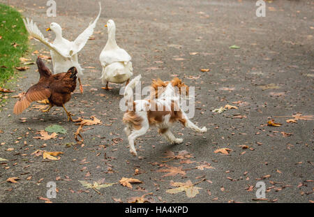 Six month old Cavalier King Charles Spaniel puppy chasing free-ranging Pekin ducks and a Rhode Island Red chicken - Stock Photo